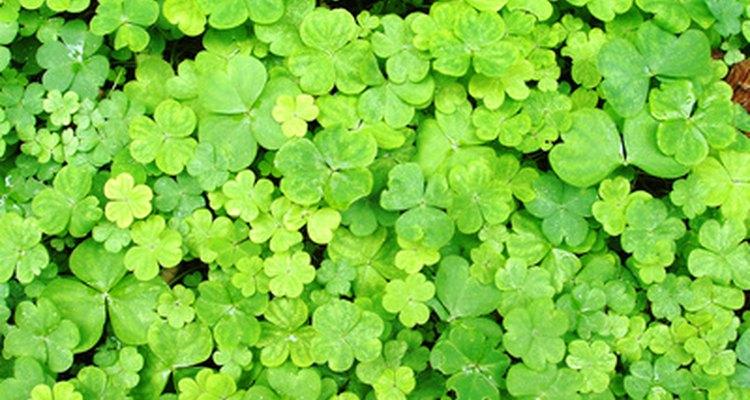 O trevo é a erva daninha mais comum da América do Norte