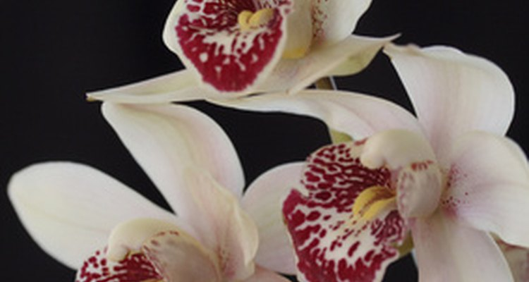 Cymbidium orchids are popular in the United States.
