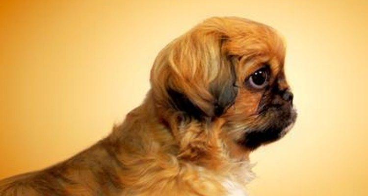 Os filhotes de Shih Tzu são como a maioria dos cães