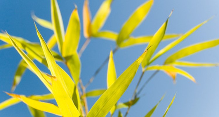 Bamboo is easy to propagate from cuttings.