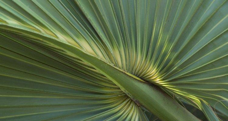 La palma enana americana contiene fitoesteroles que bloquean naturalmente la DHT.