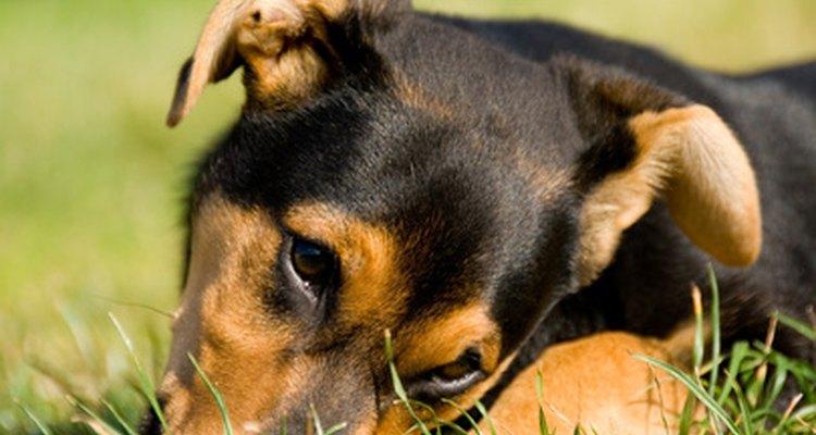 Algunos perros comen pasto simplemente porque les gusta.