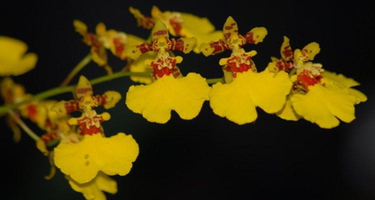 """La oncidium """"azúcar dulce"""", una vieja híbrida pero que es aun favorita debido a los pétalos amarillos como el sol."""