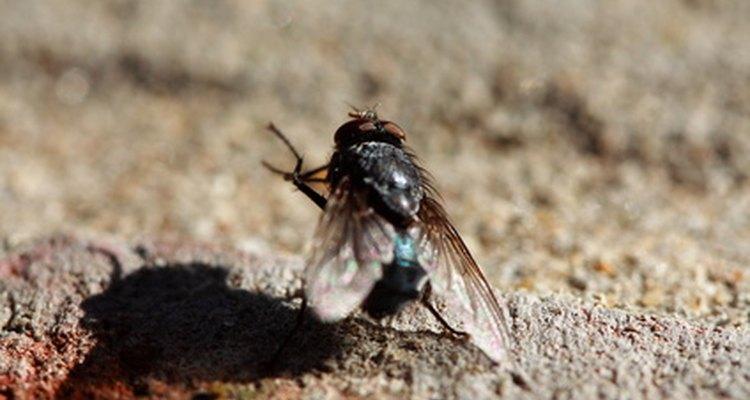 As larvas podem virar moscas em menos de uma semana