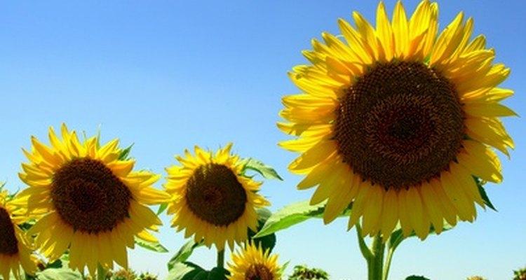 Los girasoles siguen la luz del sol.