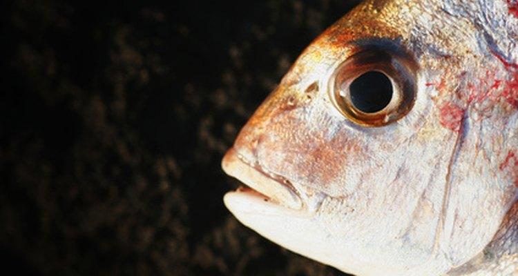 O tipo de escama afeta o comportamento do peixe
