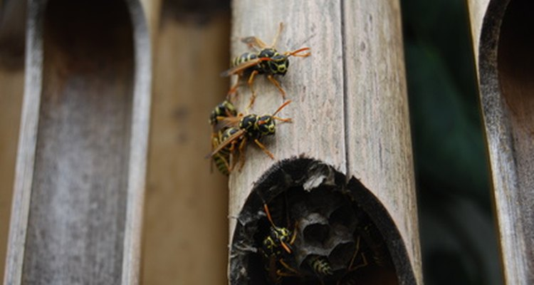 Look for wasp nests inside large wooden holes.