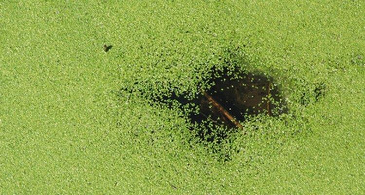 A lentilha-d'água é a menor planta florida do mundo
