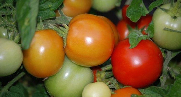 Os tomates são ricos em licopeno antioxidante