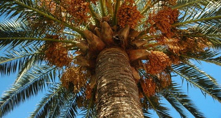 Los frutos crecen cerca de la parte superior de las palmeras.