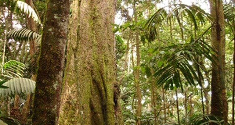 Los árboles altos albergan muchas especies vegetales y animales en la selva.