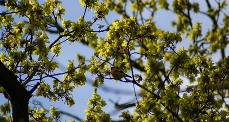 Bullfinches eat seeds and insects, and will also strip flower buds from fruit trees.