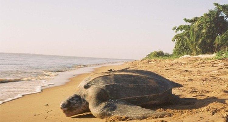 As tartarugas marinhas não são criaturas totalmente inofensivas, apesar de precisarem de muita proteção