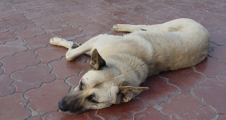 An elderly dog who sleeps all day and paces at night may be sundown.