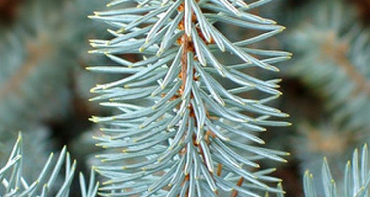 Los pinos varían en el color de las hojas, el aroma, el color y la tamaño de la corteza.