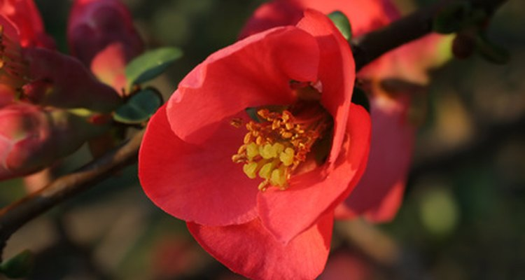 A flower appears on the quince bush before fruit.