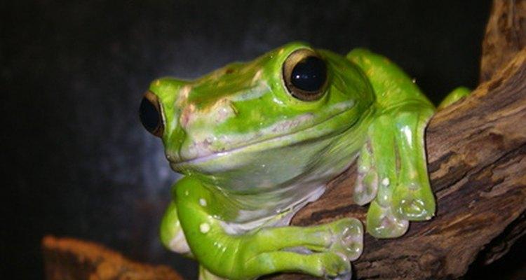 Una rana de árbol es una buena mascota y puede ser alimentada con los grillos que venden en las tiendas de mascotas.