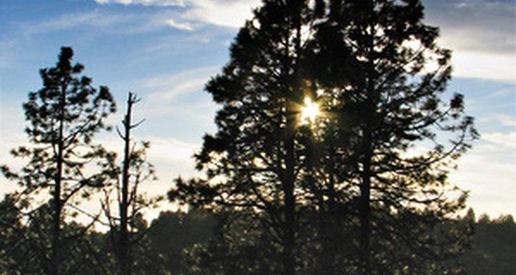 Ciertas especies de pinos pueden ser el primer tipo de árbol en afianzarse después de una perturbación natural o de origen humano.