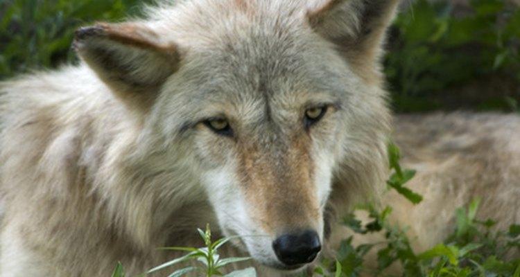 Lobos são grandes mestres da lealdade, perseverança, laços de família e muito mais