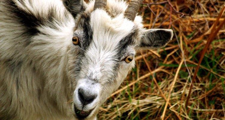 Usar el antiparasitario Ivomec en cabras no es difícil y puede ayudar a restaurar la salud y vitalidad de tu rebaño con una simple dosis.