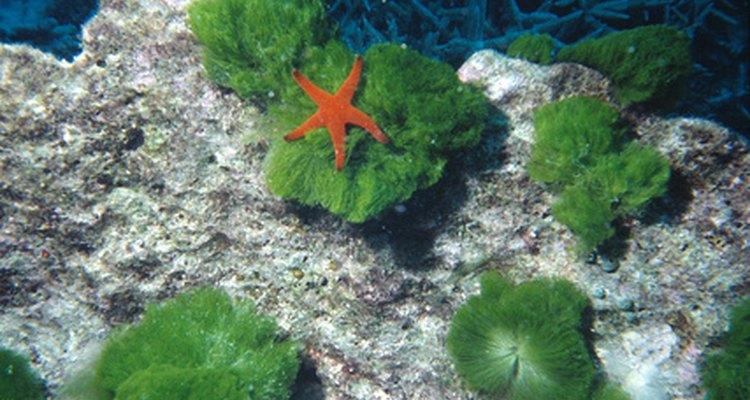 A estrela do mar pode precisar de suplementação alimentar