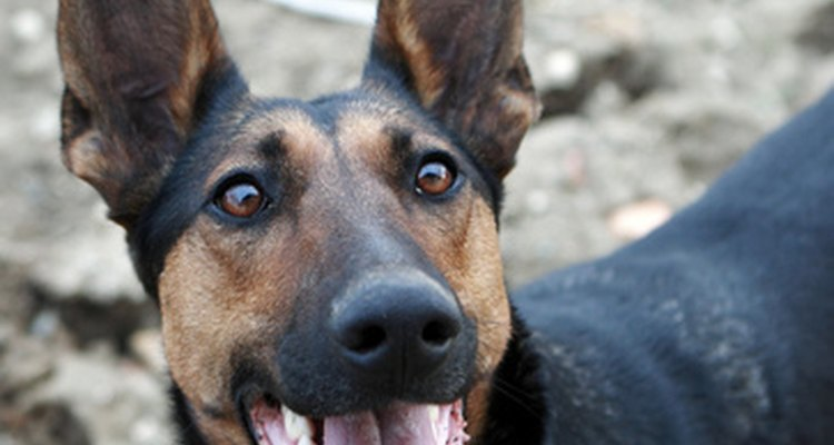 German shepherds are prone to degenerative myelopathy.