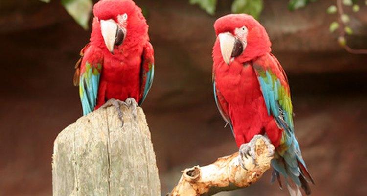 Evitar comidas com pesticidas também pode melhorar a saúde do seu papagaio