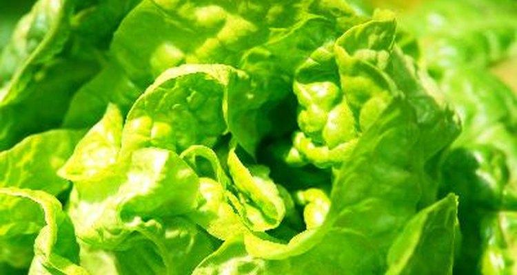 La lechuga crece mejor en condiciones frescas.