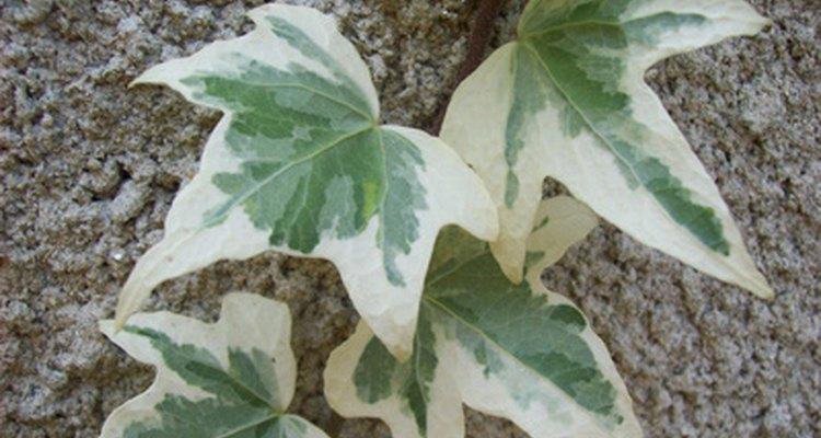 Los jardineros tienen muchas opciones en cultivares de hiedra adecuados para macetas.