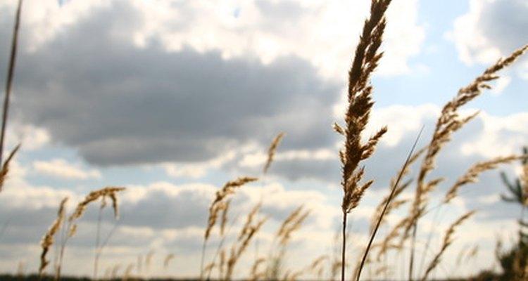 El trigo y la cebada son utilizados a menudo para harinas.