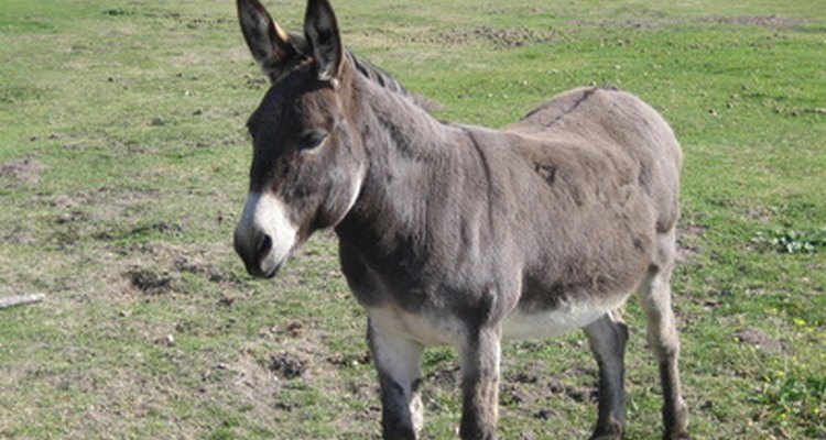 Donkeys don't begin to appear pregnant until the last three months of pregnancy.