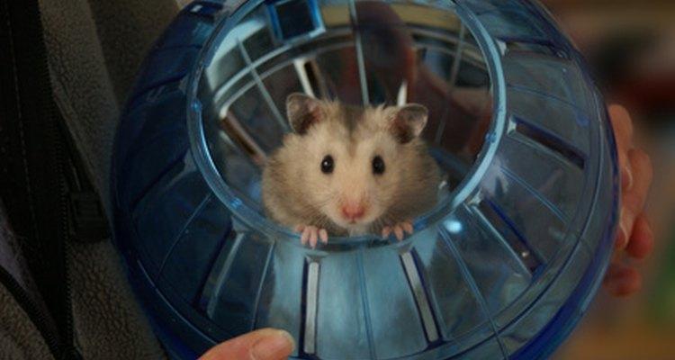 O inchaço do seu hamster pode ser o resultado de algo muito simples ou de uma condição extremamente séria