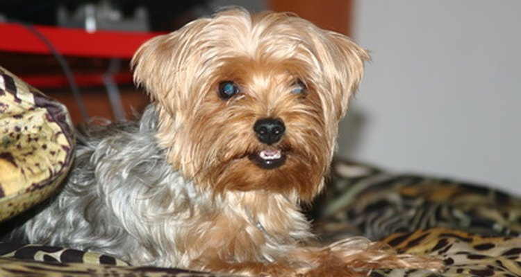 Small and toy breeds are prone to tracheal collapse.