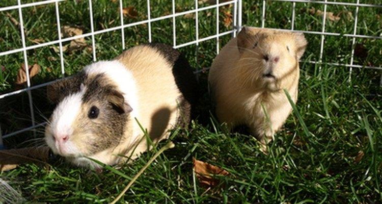 Las hembras de conejillos de Indias pueden tener embarazos difíciles.