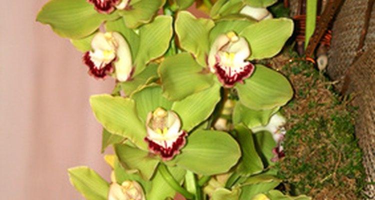 Flores Cybidium.