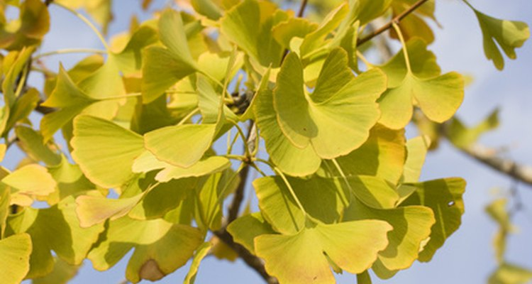 Ginkgos have distinct, fan-shaped leaves.