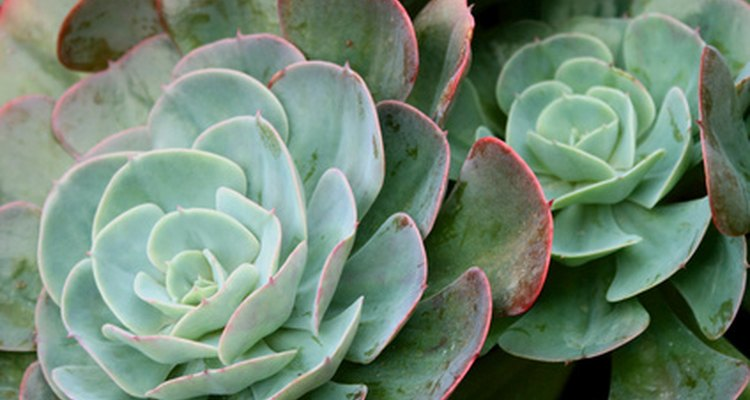 Succulents like these have attractive evergreen leaves in rosettes.
