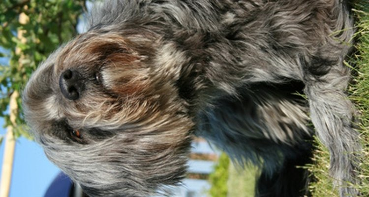 Some dogs develop dandruff, but avoid treating them with shampoo intended for people.