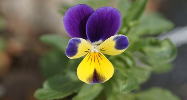 Wild violets spread rapidly in your lawn.