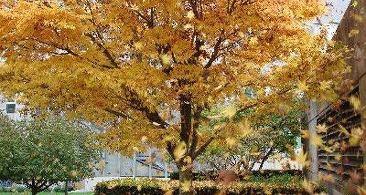 No outono, as folhas deixam de ser verdes devido à presença de carotenoides e antocianinas nas folhas.