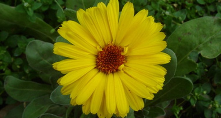 Calendula extract has antiseptic and soothing properties.