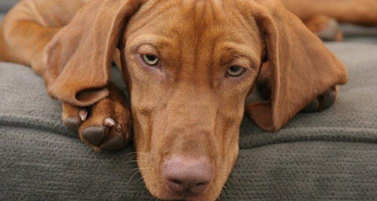 Cómo descongestionar la nariz de tu perro.