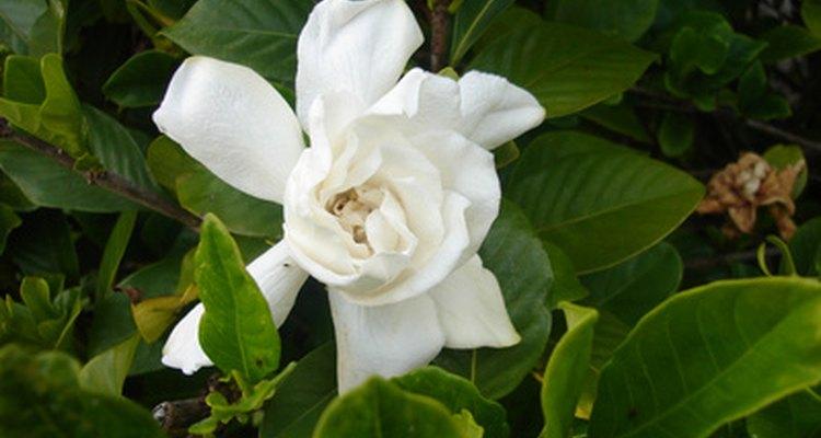 La gardenia es un ingrediente clave en la fragancia de Vera Wang.