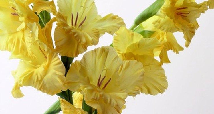 Los gladiolos producen muchas flores a lo largo de los tallos florales individuales.
