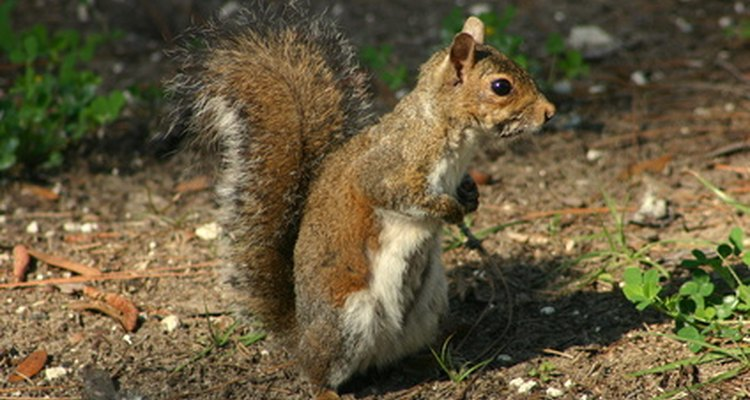 Squirrels and mice are the most common creatures that eat tulip bulbs.