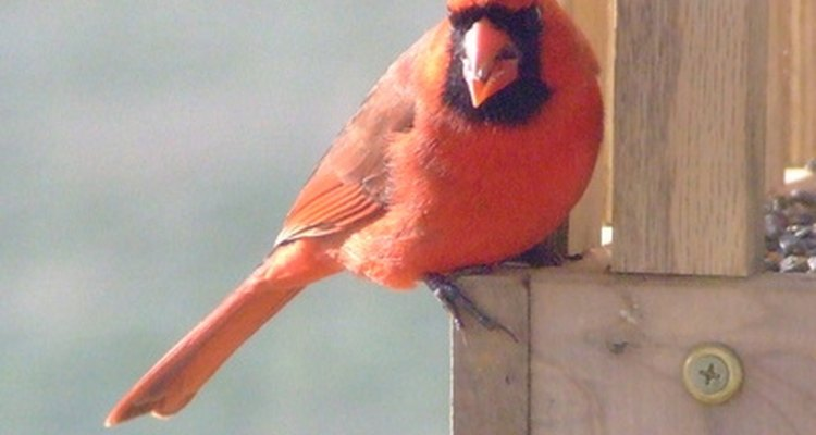 Cardinals are one of the more aggressive species when it comes to pecking.