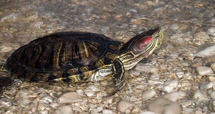 Mantenimiento de un tanque de tortugas.