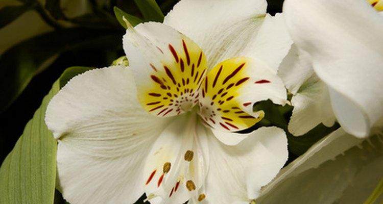 A planta da astromélia floresce em diversas cores