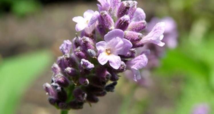 Lavender is an edible flower.