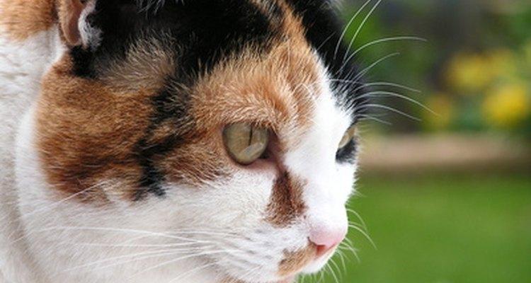 Un gato puede favorecer a un miembro si se ha roto la pierna.